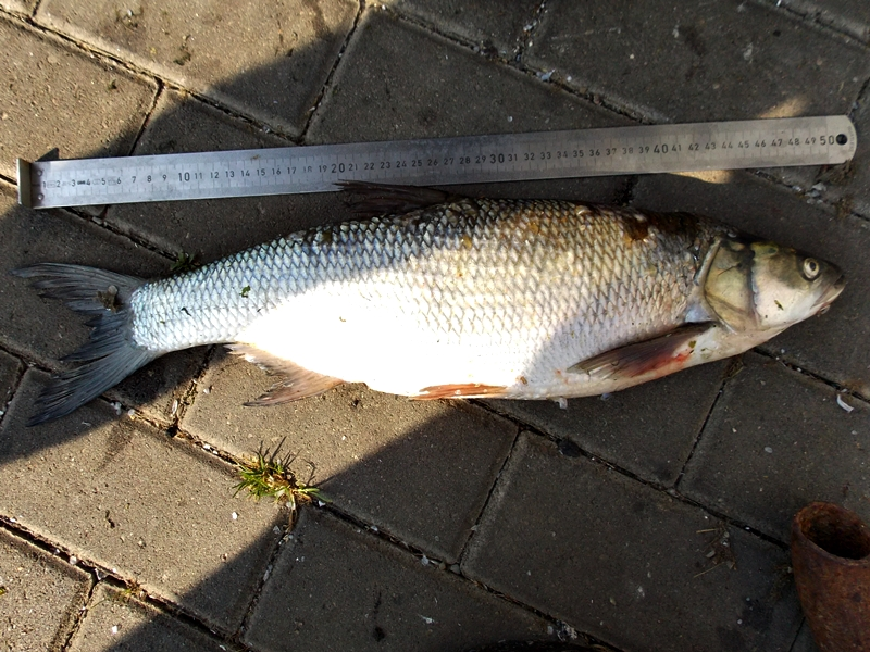 Fish length of about 50 cm lying on the pavement above it is a scoop