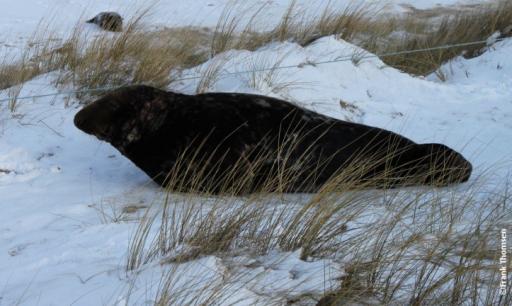 <p>Samiec foki szarej wylegujący się na plaży. Sceneria zimowa (Po kliknięciu zdjęcie się powiększa)</p>